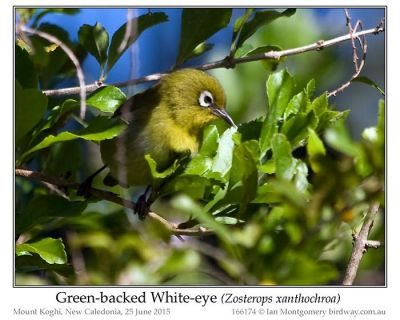 Green-backed White-eye (Zosterops xanthochroa) by Ian