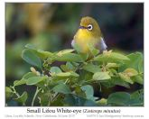 Small Lifou White-eye (Zosterops minutus) by Ian