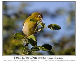 Ian's Bird of the Week – Small Lifou White-eye