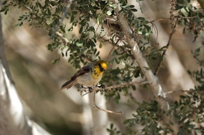 Verdin (Auriparus flaviceps) by D