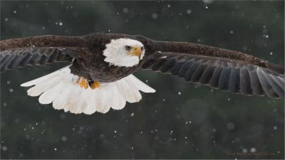 Bald Eagle (Haliaeetus leucocephalus) by Ray Barlow