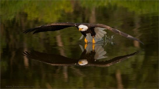Bald Eagle (Haliaeetus leucocephalus) by Ray Barlow