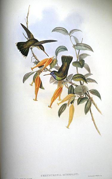 Humboldt's Sapphire (Hylocharis humboldtii) ©Drawing WikiC