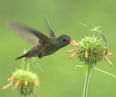 White-chinned Sapphire (Hylocharis cyanus) by Dario Sanches at flower
