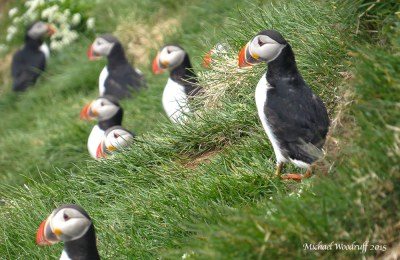 Atlantic Puffin (Fratercula arctica) by Michael Woodruff