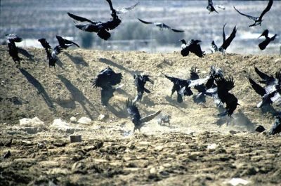 Common Ravens Feeding ©WikiC
