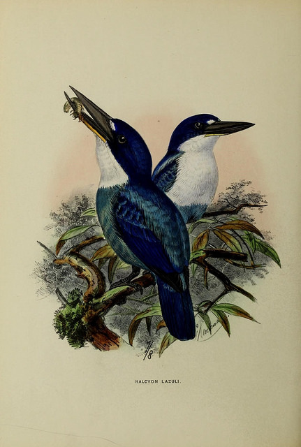 Lazuli Kingfisher (Todiramphus lazuli) ©Drawing WikiC