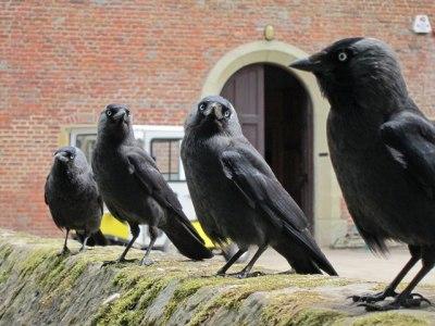 Jackdaws at Herstmonceux Castle