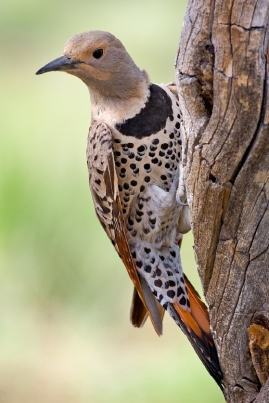 Northern Flicker (Female Yellow-shafted) ©WikiC