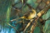Malagasy Brush Warbler (Nesillas typica) ©©Flickr Francesco Veronesl