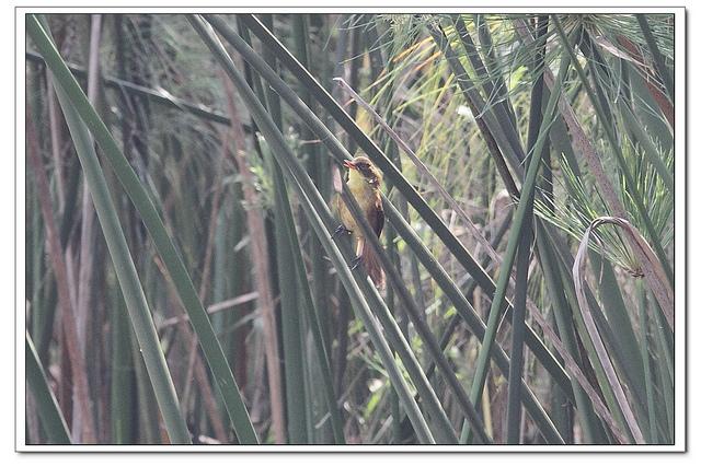 Papyrus Yellow Warbler (Calamonastides gracilirostris) ©©Flickr Ross Tsal