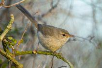 Subdesert Brush Warbler (Nesillas lantzii) ©WikiC