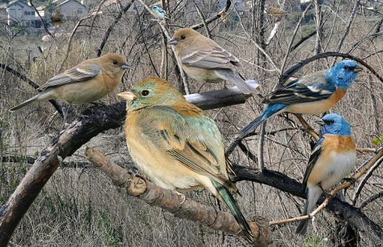 Lazuli Bunting From The Crossley ID Guide Eastern Birds