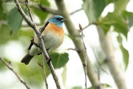 Birds of the Bible – Lazuli Birds