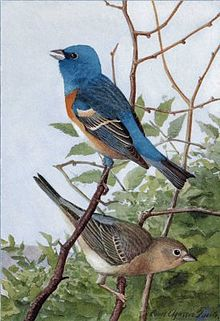 Lazuli Bunting (Passerina amoena) Male and Female ©Drawing WikiC