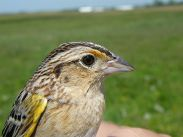 Grasshopper Sparrow (Ammodramus savannarum) ©WikiC