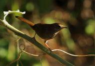 Barratt's Warbler (Bradypterus barratti) ©WikiC