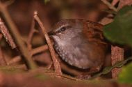 Chestnut-backed Bush Warbler (Locustella castanea) ©WikiC