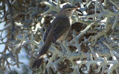 Grey Emutail (Amphilais seebohmi) ©WikiC