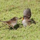 Little Grassbird (Megalurus gramineus) Adult Feeding Juvenile©WikiC