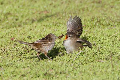 Little Grassbird (Megalurus gramineus) Adult Feeding Juvenile ©WikiC