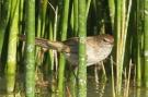 Little Grassbird (Megalurus gramineus) ©WikiC