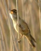 Marsh Grassbird (Locustella pryeri) ©WikiC