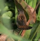 Pallas's Grasshopper Warbler (Locustella certhiola) ©WikiC