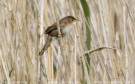 Savi's Warbler (Locustella luscinioides) by Tom Tarrant