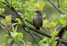 Spotted Bush Warbler (Locustella thoracica) by Tom Tarrant