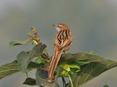 Striated Grassbird (Megalurus palustris) ©WikiC