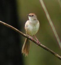 Tawny Grassbird ©WikiC