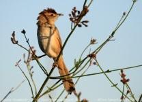 Tawny Grassbird (Megalurus timoriensis) by Tom Tarrant