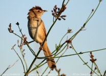 Tawny Grassbird (Cincloramphus timoriensis) by Tom Tarrant