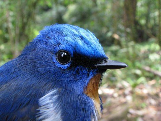 Sapphire Flycatcher (Ficedula sapphira) ©WikiC