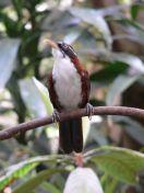 Chestnut-backed Scimitar Babbler (Pomatorhinus montanus) ©WikiC