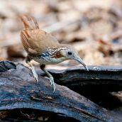 Large Scimitar Babbler (Pomatorhinus hypoleucos) ©WikiC