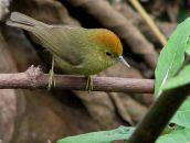 Rufous-capped Babbler (Stachyridopsis ruficeps) ©WikiC
