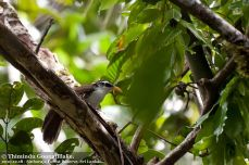 Sri Lanka Scimitar Babbler (Pomatorhinus melanurus) ©WikiC