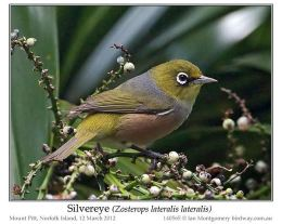 Ian's Bird of the Week – Silvereye