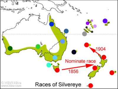 Silvereye (Zosterops lateralis) by Ian Map