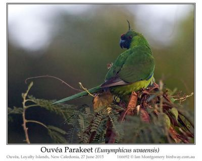 Ouvéa Parakeet (Eunymphicus uvaeensis) by Ian