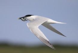 Birdwatching on Danish Zealand:  Remembering a Sandwich Tern, at Hamlet'sCastle