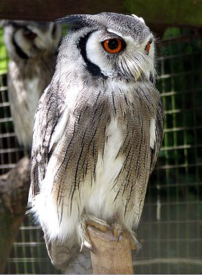 Northern White-faced Owl (Ptilopsis leucotis) ©PD