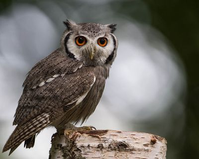 Southern White-faced Owl (Ptilopsis granti) ©PD