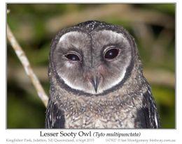 Ian's Bird of the Week – Lesser SootyOwl