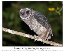 Lesser Sooty Owl (Tyto multipunctata) by Ian
