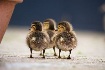 Three Ducklings ©WikiC