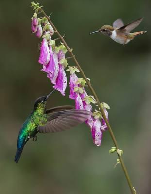 Firey-throated and Volcano Hummingbird ©Raymond Barlow