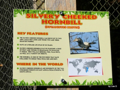 Silvery-cheeked Hornbill (Bycanistes brevis) Parrot Mtn